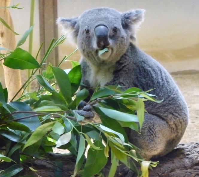 n-koala-a-20140923