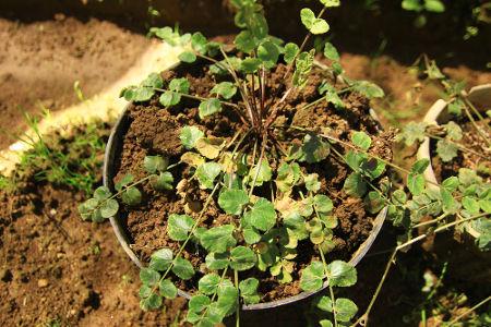1-_purwaceng_pimpinella_pruatjan_sering_disebut_sebagai_ginsengnya_masyarakat_dieng_-_tanaman_ini_memiliki_banyak_khasiat_bagi_tubuh_