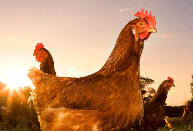 chicken-huffington-post